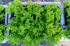 Vegetais verdes frescos da alface Fotografia de Stock