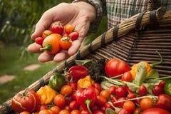 Vegetais vermelhos recentemente escolhidos em um jardim Fotografia de Stock