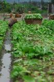 Vegetal da exploração agrícola Imagem de Stock Royalty Free