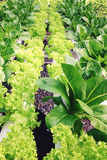 Vegetal da hidroponia Imagem de Stock