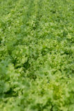 Vegetal da hidroponia Imagens de Stock