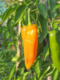 Vegetal da pimenta Foto de Stock