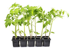 Vegetal da planta de tomates das plântulas isolado em um Backgroun branco Imagens de Stock Royalty Free
