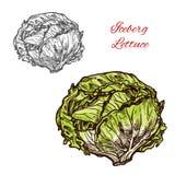 Vegetal do esboço do vetor da alface de iceberg ilustração royalty free