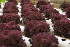 Vegetal do Hydroponics foto de stock