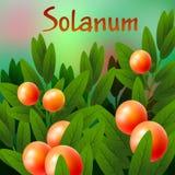 Vegetal e erva, uma ilustração do Solanum maduro fresco Stramonifolium Fotos de Stock Royalty Free