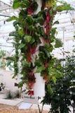Vegetal hidropónico Imagem de Stock Royalty Free