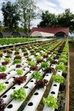 Vegetal hidropónico Imagens de Stock Royalty Free