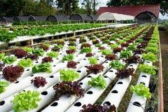 Vegetal hidropónico Fotos de Stock