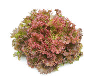 Vegetal hidropónico (corel vermelho) Imagens de Stock