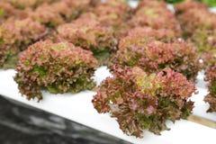 Vegetal hidropónico (corel vermelho) Fotografia de Stock