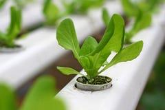 Vegetal hidropónico orgânico Fotografia de Stock Royalty Free