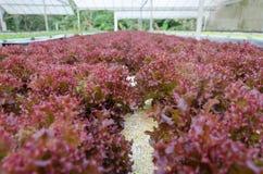 Vegetal hidropônico Fotografia de Stock Royalty Free