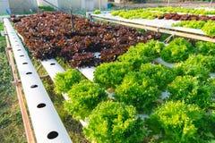 Vegetal hidropônico verde Imagens de Stock Royalty Free