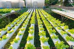 Vegetal hidropônico verde Fotografia de Stock