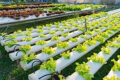 Vegetal hidropônico verde Imagem de Stock