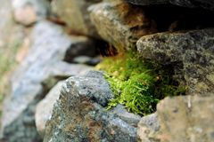 Vegetal moss growing in between rocks Royalty Free Stock Photo