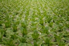 Vegetal na exploração agrícola hidropônica Foto de Stock