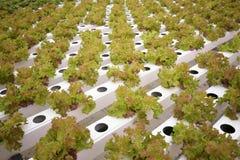 Vegetal na exploração agrícola hidropônica Imagens de Stock Royalty Free