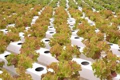 Vegetal na exploração agrícola hidropônica Fotografia de Stock