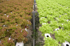 Vegetal na exploração agrícola hidropônica Fotografia de Stock Royalty Free