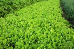 Vegetal no crescimento no jardim Foto de Stock Royalty Free
