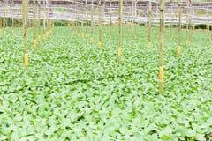 Vegetal orgânico da estufa que cultiva em Cameron Highlands, Malásia fotografia de stock royalty free