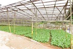 Vegetal orgânico da estufa que cultiva em Cameron Highlands, Malásia imagem de stock
