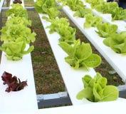 Vegetal orgânico fresco fotografia de stock royalty free