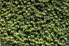 Vegetal texture. Vegetal leaf texture background frame royalty free stock photos
