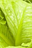 Vegetal verde Imagem de Stock