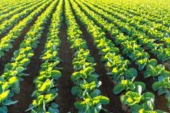 Vegetal verde no campo Fotografia de Stock