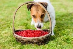 Vegetarian dog eating healthy fresh, ripe berries from basket Stock Photo