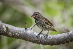 Vegetarian finch perched on thick tree branch Stock Images