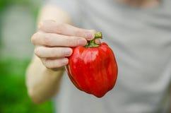 Vegetarian och nya frukt och grönsaker på naturen av temat: mänsklig hand som rymmer en röd peppar på en bakgrund av gräsplan gr Fotografering för Bildbyråer