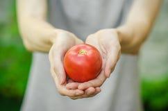 Vegetarian och nya frukt och grönsaker på naturen av temat: mänsklig hand som rymmer en tomat på bakgrunden av gröna gras Arkivfoto