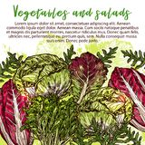 Vector sketch poster of salads vegetables. Vegetarian salads and lettuce vegetables sketch poster. Vector design of vegan chicory and oakleaf lettuce or spinach Royalty Free Stock Photos