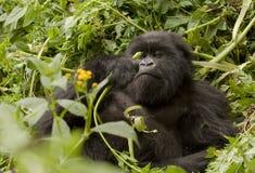 Vegetariano del gorila de montaña imagenes de archivo