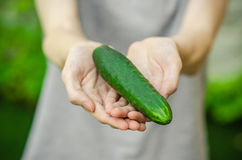 Vegetarians and fresh fruit and vegetables on the nature of the theme: human hand holding a cucumber on a background of green gras Stock Photos