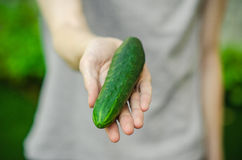 Vegetarians and fresh fruit and vegetables on the nature of the theme: human hand holding a cucumber on a background of green gras Royalty Free Stock Photo