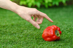Vegetarians and fresh fruit and vegetables on the nature of the theme: human hand holding a red pepper on a background of green gr Royalty Free Stock Image