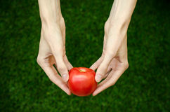 Vegetarians and fresh fruit and vegetables on the nature of the theme: human hand holding a tomato on the background of green gras Stock Images