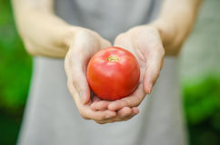 Vegetarians and fresh fruit and vegetables on the nature of the theme: human hand holding a tomato on the background of green gras Royalty Free Stock Images