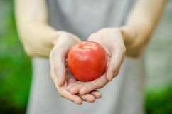 Vegetarians and fresh fruit and vegetables on the nature of the theme: human hand holding a tomato on the background of green gras Royalty Free Stock Photos