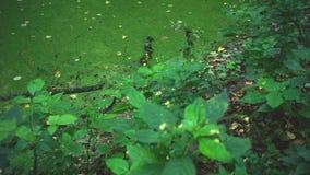 Vegetatie dichtbij het moeras stock video