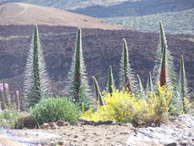 Vegetatie op vulkaan Gr Teide Stock Foto