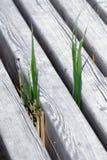 Vegetation. Between wooden floor surfacing Stock Photos