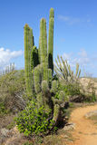 Vegetation of Aruba, ABC Islands Royalty Free Stock Image
