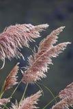 Vegetation background (pampa grass). Detail of pampa grass in san luis, argentina Stock Photos