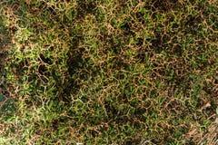 Vegetation background texture. Mediterranean vegetation Thorn bush with hexagonal shape background texture, Greece, Skiathos island 2018 royalty free stock photo